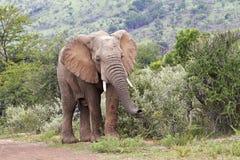 Młody męski Afrykańskiego słonia karmienie Zdjęcia Stock