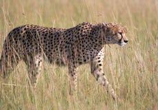 Młody męski gepard Zdjęcia Stock