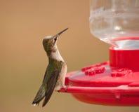 Młody męski Hummingbird obsiadanie przy dozownikiem Obrazy Stock