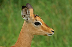 Młody męski impala (Aepyceros melampus) Obrazy Royalty Free