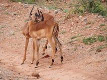 Młody męski Impala przygotowywać Fotografia Royalty Free