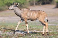 Młody Męski kudu Zdjęcia Royalty Free