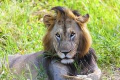 Młody męski lew Fotografia Stock