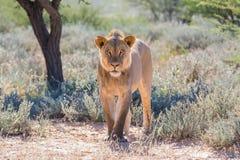 Młody męski lew Obraz Stock