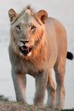 Młody męski lew Obrazy Royalty Free