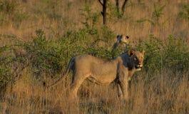 Młody męski lew Obraz Royalty Free