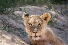 Młody męski lew gra główna rolę przy kamerą Zdjęcie Stock