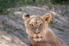 Młody męski lew gra główna rolę przy kamerą Zdjęcie Royalty Free