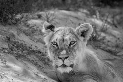 Młody męski lew gra główna rolę przy kamerą Zdjęcia Stock