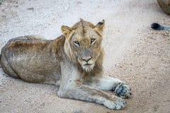 Młody męski lew kłaść na drodze gruntowej Obrazy Royalty Free