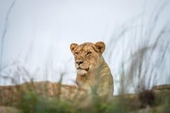 Młody męski lew kłaść na skałach Zdjęcie Stock