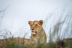 Młody męski lew kłaść na skałach Zdjęcia Stock