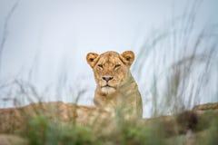 Młody męski lew kłaść na skałach Zdjęcie Royalty Free