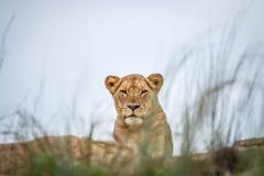 Młody męski lew kłaść na skałach Obraz Royalty Free