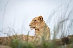 Młody męski lew kłaść na skałach Fotografia Royalty Free