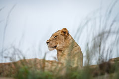 Młody męski lew kłaść na skałach Obrazy Stock