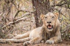 Młody męski lew kłaść w brudzie Zdjęcia Royalty Free