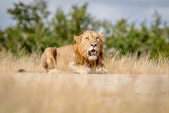 Młody męski lew kłaść w dół i patrzeje Obrazy Royalty Free