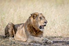 Młody męski lew kłaść w dół w piasku Zdjęcie Stock