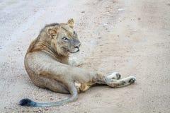 Młody męski lew kłaść w drodze Obrazy Royalty Free