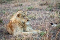 Młody męski lew kłaść w trawie Fotografia Stock