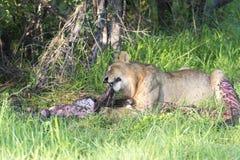 Młody męski lew karmi z wildebeest Fotografia Stock