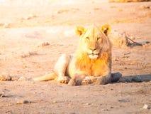 Młody męski lew ma odpoczynek na zakurzonej ziemi przy zmierzchu czasem, Etosha park narodowy, Namibia, Afryka Fotografia Stock