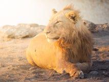 Młody męski lew ma odpoczynek na zakurzonej ziemi przy zmierzchu czasem, Etosha park narodowy, Namibia, Afryka Zdjęcia Stock