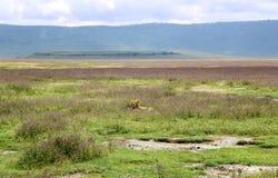 Młody męski lew odpoczywa w sawannie przy Ngorongoro kraterem Obraz Stock