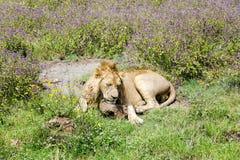 Młody męski lew odpoczywa w sawannie przy Ngorongoro kraterem Zdjęcia Royalty Free