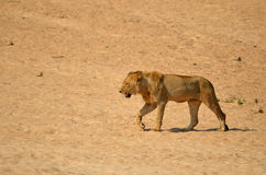 Młody męski lew (Panthera Leo) Obraz Royalty Free