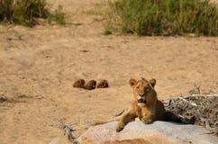 Młody męski lew (Panthera Leo) Obrazy Stock