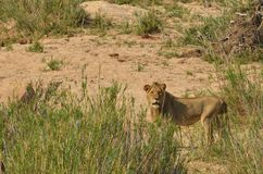 Młody męski lew (Panthera Leo) Fotografia Stock