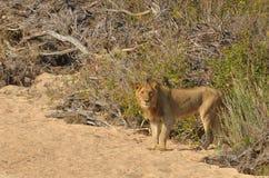 Młody męski lew (Panthera Leo) Zdjęcia Stock