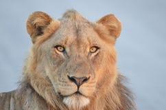 Młody męski lew (Panthera Leo krugerii) Obraz Stock