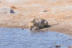 Młody męski lew pije od waterhole w świetle dziennym Przyroda safari w Etosha parku narodowym główny podróży miejsce przeznaczeni Zdjęcia Royalty Free