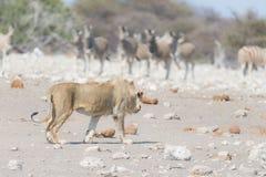 Młody męski lew, przygotowywający dla ataka, chodzi w kierunku stada zebry działające daleko od, defocused w tle Przyroda safari  Zdjęcie Royalty Free