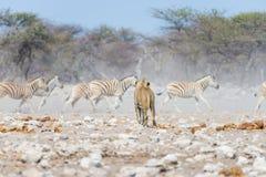 Młody męski lew, przygotowywający dla ataka, chodzi w kierunku stada zebry działające daleko od, defocused w tle Przyroda safari  Fotografia Stock