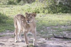 Młody męski lew, Serengeti, Tanzania Fotografia Stock