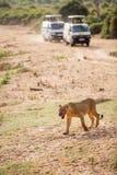 Młody męski lew w Afryka Fotografia Royalty Free