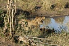 Młody męski lew w dzikim maasai Mara Zdjęcie Royalty Free