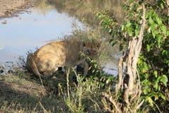 Młody męski lew w dzikim maasai Mara Obraz Stock