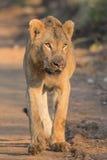 Młody Męski lew w Kruger parku narodowym Zdjęcie Royalty Free