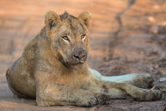 Młody Męski lew w Kruger parku narodowym Zdjęcie Stock