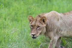 Młody męski lew w ranku (2) Obraz Stock
