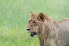 Młody męski lew w ranku Fotografia Royalty Free