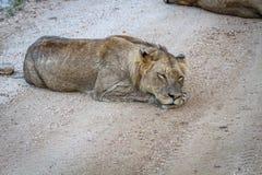 Młody męski lwa dosypianie na drodze gruntowej Zdjęcie Stock