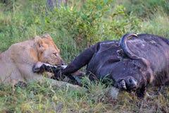 Młody Męski lwa karmienie na nieżywym bawolim ścierwie Obrazy Royalty Free