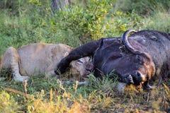 Młody Męski lwa karmienie na nieżywym bawolim ścierwie Obraz Stock
