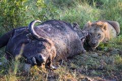 Młody Męski lwa karmienie na nieżywym bawolim ścierwie Fotografia Royalty Free